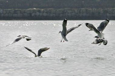 sea birds in Kunming Dianchi Lake